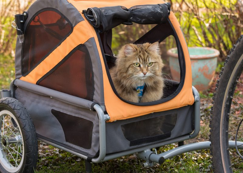 Siberian cat in a Bicycle Trailer
